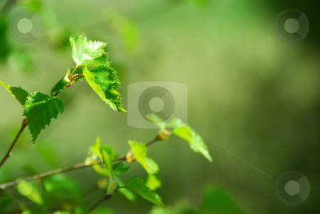 Spring tree stock photo, Branch of a birch tree with fresh new leaves in the spring by Elena Elisseeva