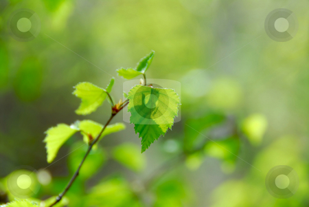 Spring green leaves stock photo, Natural background of young green spring leaves by Elena Elisseeva