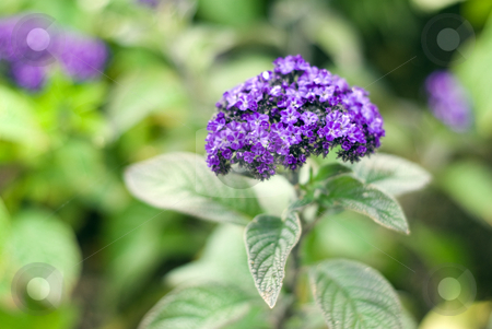 Small Blue Flowers stock photo, Close-up view of a plant with small blue flowers by Richard Nelson