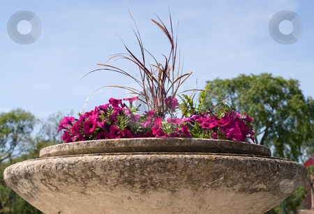 Petunias stock photo, Red petunias planted in a large cement planter by Richard Nelson
