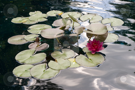 Water Lilly stock photo, Multiple water lillies floating on the water by Richard Nelson