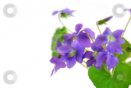 Violets on white background stock photo, Wild spring violets on white background, corner by Elena Elisseeva