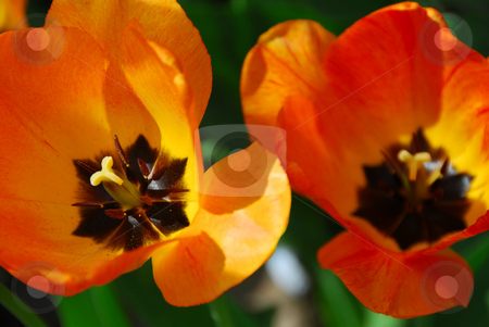 Two tulips stock photo, Two tulips macro by Elena Elisseeva