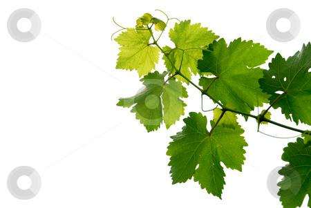 Grape vine stock photo, Branch of grape vine on white background by Elena Elisseeva