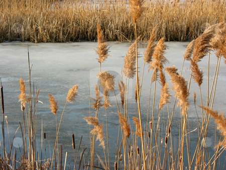 Reeds winter pond stock photo, Winter reeds at frozen pond by Elena Elisseeva