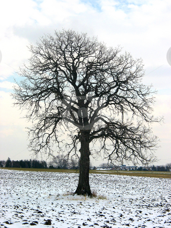Tree in a winter field stock photo, Lonely oak tree in a winter field by Elena Elisseeva