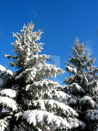 Winter fir trees covered in snow stock photo, Snowy fir trees covered with fresh snow on the background on bright blue sky by Elena Elisseeva