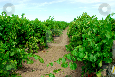 Vineyard stock photo, Vineyard with green vines by Elena Elisseeva