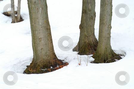Tree trunks in winter stock photo, Tree trunks in snowy winter by Elena Elisseeva