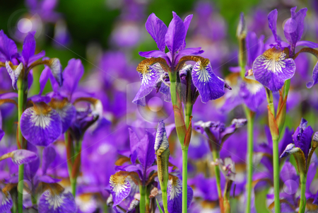 Irises stock photo, Beautiful purple irises blooming in spring time by Elena Elisseeva