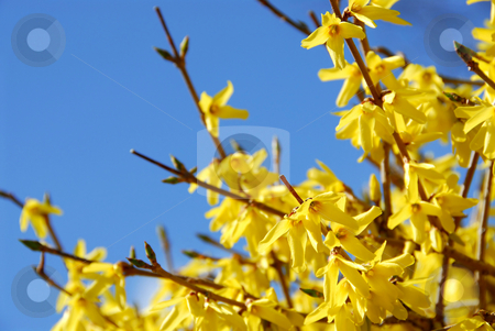 Spring bloom forsythia stock photo, Spring bloom forsythia on the background of bright blue sky by Elena Elisseeva