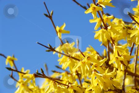 Spring bloom forsythia stock photo, Spring bloom forsythia on the background of bright blue sky by Elena Elisseeva