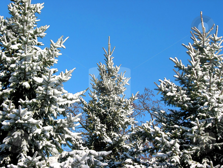 Winter fir trees  stock photo, Winter fir trees covered with fresh snow on the background on bright blue sky by Elena Elisseeva