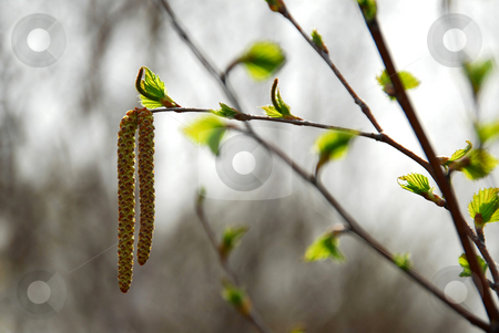 Spring tree branch stock photo, Spring tree branch closeup by Elena Elisseeva