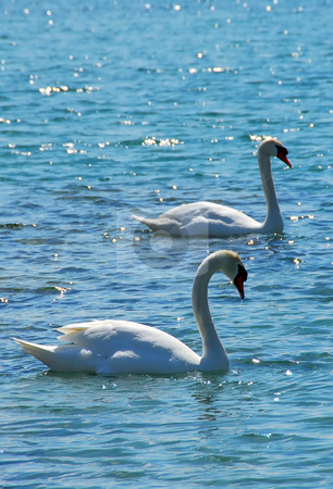 Pair of swans stock photo, Pair of swans in sparking water by Elena Elisseeva