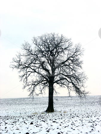 Tree in a winter field 1 stock photo, Lonely oak tree in a winter field by Elena Elisseeva