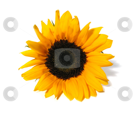 Sunflower face stock photo, Single sunflower isolated on white background by Elena Elisseeva