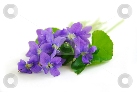Violets on white background stock photo, Wild spring violets on white background by Elena Elisseeva