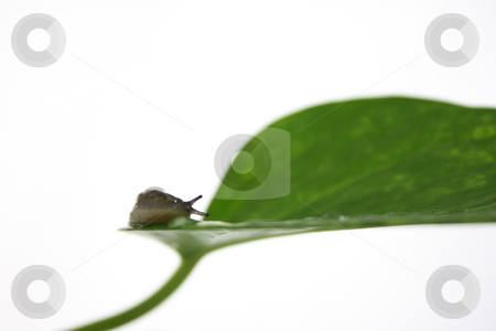 Slug stock photo, A garden slug isolated on white, with green leaves. by Jessica Tooley