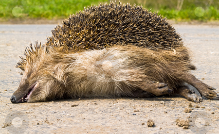 Porcupine stock photo, Dead porcupine in the middle of the road by Adrian Costea