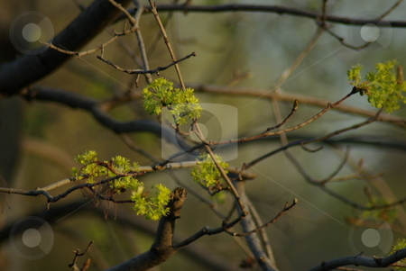 Spring Maple tree buds stock photo, Fresh buds begin to open on a Maple tree in spring. by Dennis Thomsen
