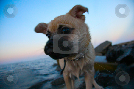 Wet Puppy stock photo, Wet puppy at the lakefront by JESSICA FELICIANA