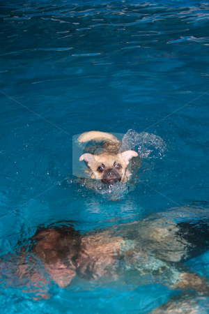 Puppy Swimming stock photo, Man teaches puppy to swim by JESSICA FELICIANA