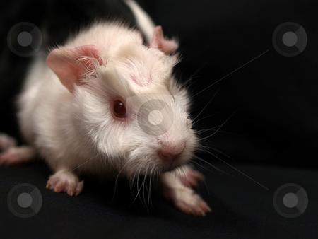 Rat stock photo,  by Adrian Costea