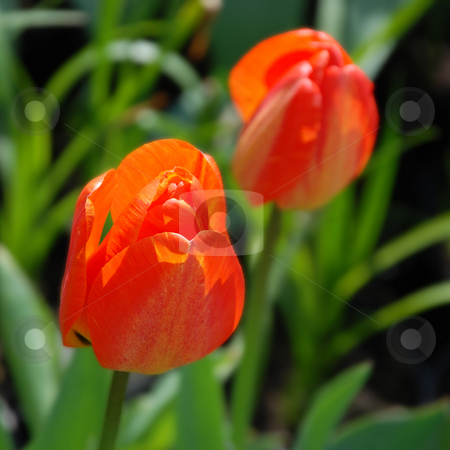 Tulips stock photo, An exactly square photograph of two red tulips by Philippa Willitts