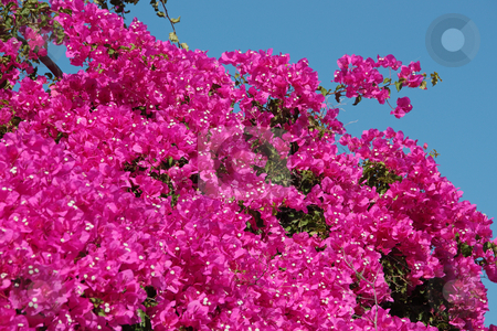 Bougainvillea Flowers stock photo, Typical Greek colorful garden flowers, bougainvilleas by Georgios Alexandris