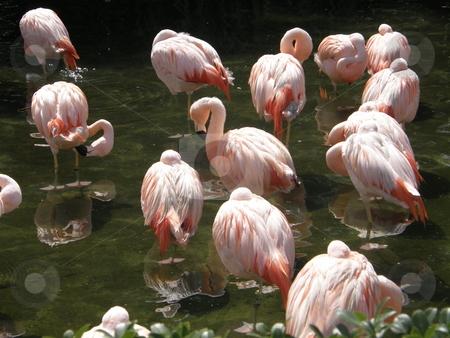 Flamingo stock photo, Pretty Flamingo by Ritu Jethani