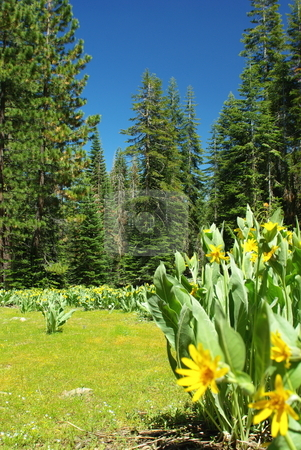 Mountain Meadow In Spring stock photo, A high Sierra meadow in springtime with wild dandelion's flowering against a deep blue sky. by Lynn Bendickson