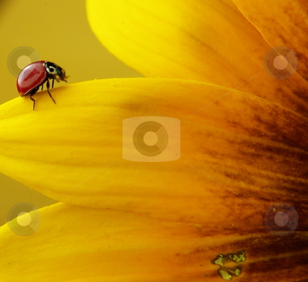 Ladybug And Petals stock photo, A red ladybug crawling on a yellow flower petal. by Lynn Bendickson