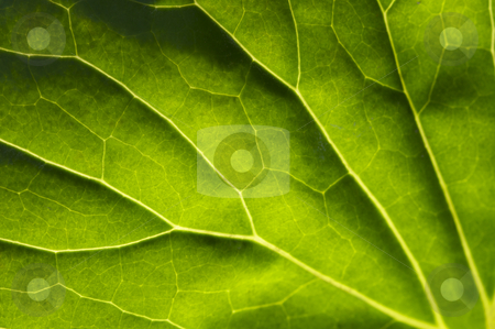 Macro Backlit Large Leaf stock photo, Macro Backlit Large Leaf Abstract by Andy Dean