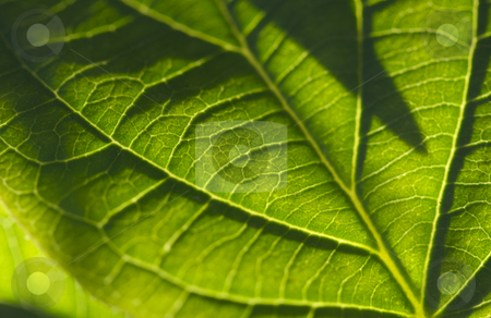 Macro Backlit Leaf stock photo, Macro Backlit Leaf Detail by Andy Dean