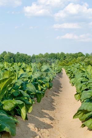 Tobacco Field stock photo, Healthy tobacco plants on a farm field. by Robert Byron