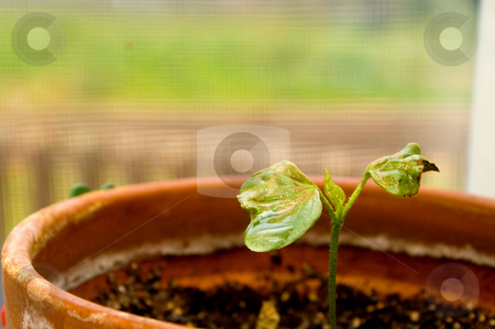Cotton Plant stock photo, A young cotton plant that has just sprouted. by Robert Byron