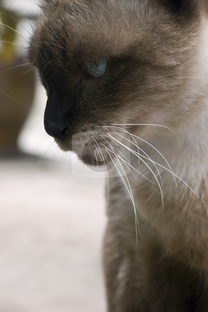 China Blue Cat stock photo, A male cat with china blue eyes by Stefan Breton