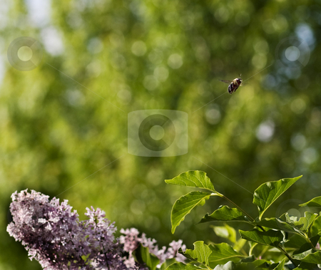 Carpenter Bee over lilacs stock photo, A carpenter bee hovers over a lilac bush. by Marc Saegesser