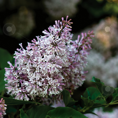 Miss Kim Lilacs stock photo, Miss kim lilac flowers by Marc Saegesser