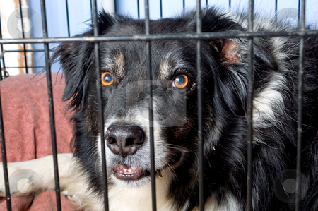 Caged Border Collie stock photo, A border collie at a dog pound or pet store. by Robert Byron