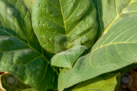 Tobacco Plant stock photo, A healthy tobacco plant on a farm field. by Robert Byron