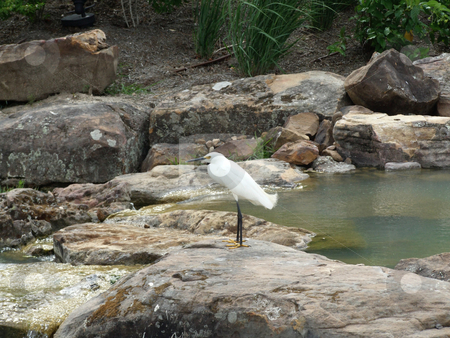 Egret on Rock stock photo, A lone egret perches on a rock moments before taking flight by Marburg