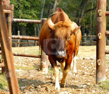 Cow stock photo, Cow walking from barnyard through gate by Marburg