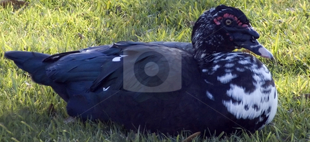Black Duck stock photo, Close up of a black duck sitting on the lawn by Marburg