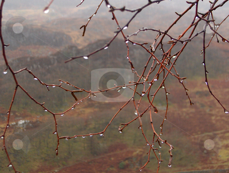 Dripping Branches stock photo, Raindrops dripping off tree branches on a grey, cloudy day. by Jessica Tooley