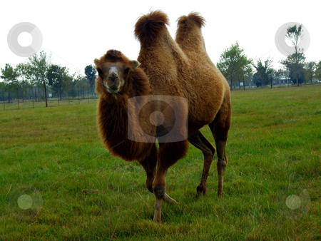 Camel stock photo, Two humped camel stopped walking to stare at photographer by Marburg