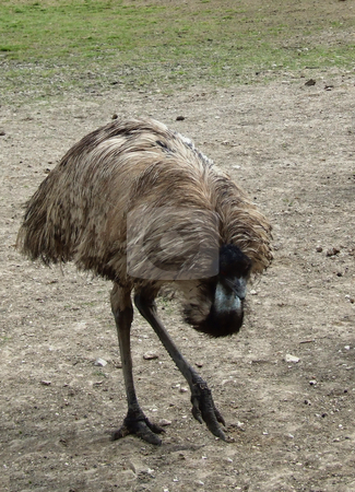 Emu stock photo, Close up of an Emu.  Emus are flightless birds.  Some places grow them on farms and sell them as food by Marburg