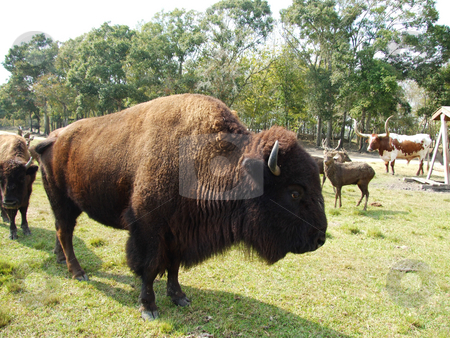 Bison stock photo, Bison standing still in hot afternoon sun by Marburg