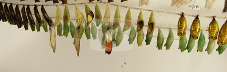 Butterfly Hatchery stock photo, Butterfly cocoons hanging in a line at a butterfly hatchery by Marburg
